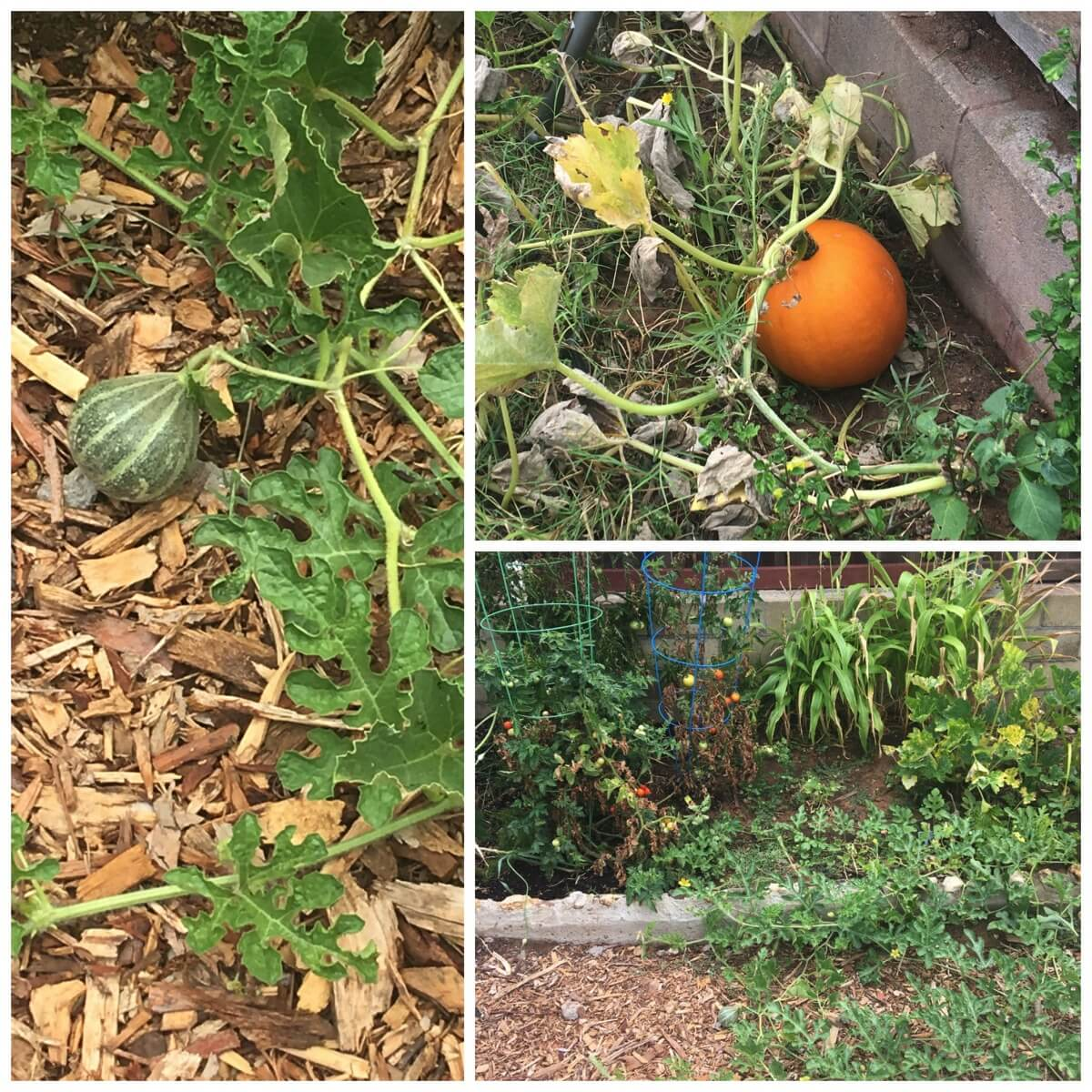 Our vegetable garden with tomatoes watermelon pumpkin and corn