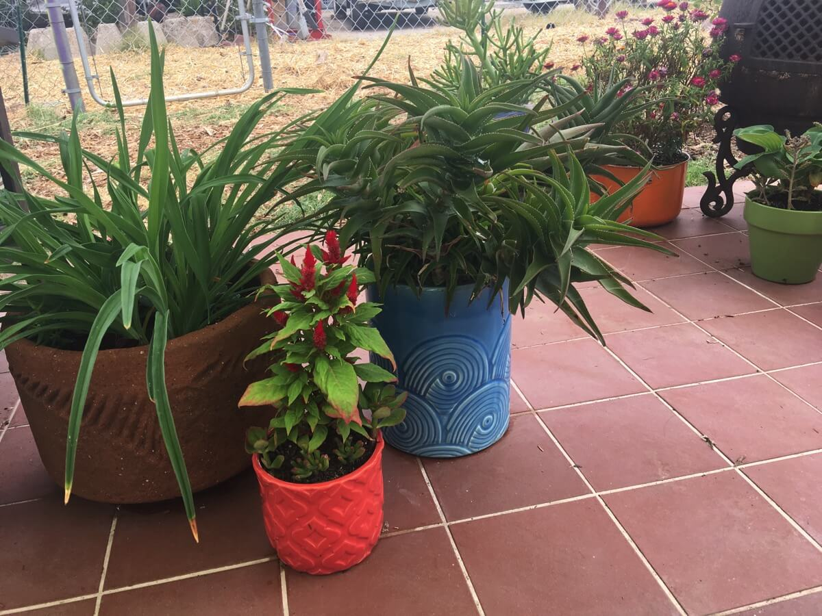 potted plants on our patio.JPG